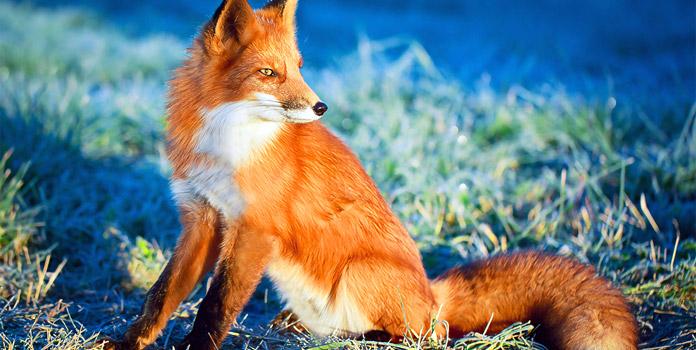 Оранжевый окрас среди животных